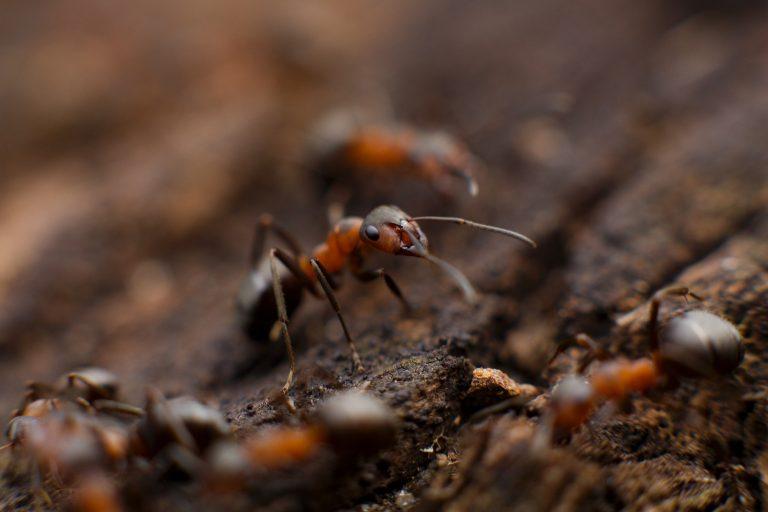 Dedetização de formigas em Natal