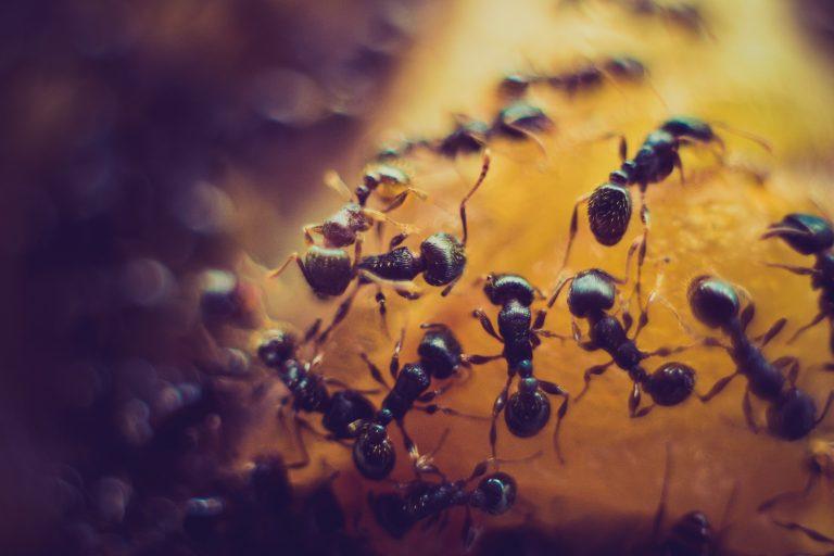 Dedetização e controle de formigas